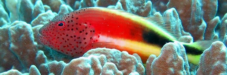 poisson faucon et corail