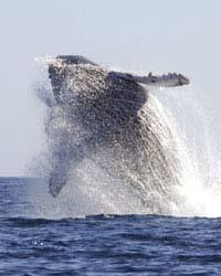 Baleine à bosse qui saute