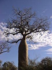 Reniala, réserve de forêt sèche à Mangily, Madagascar