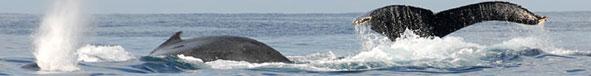 Baleines à bosse à Ifaty