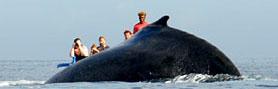 Baleine à bosse à Ifaty