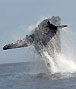 breaching humpback whales in Ifaty